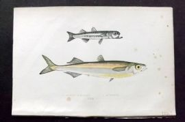 Couch 1877 Antique Fish Print. Boier's Atherine & Atherine 121